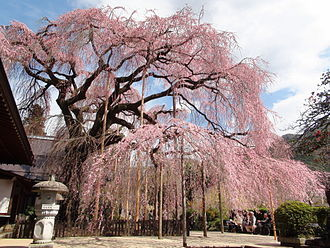 The_side_of_Jiunji-Temple_Prunus_pendula.JPG糸桜.JPG